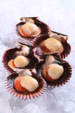 Raw Scallops on Ice Stock Images