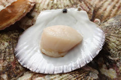 Raw scallops, opened shell Stock Images