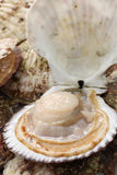 Raw scallops, opened shell Stock Image
