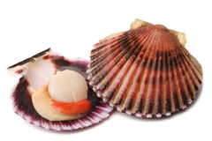 Raw scallops Royalty Free Stock Photography