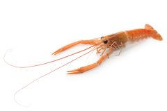 Raw scampi Royalty Free Stock Photography