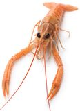 Raw scampi Royalty Free Stock Image