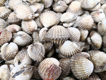 Raw seafood series -. Fresh group of Cockles in market for sale Stock Image