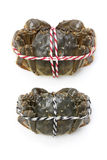 Raw shanghai hairy crabs(male and female) Royalty Free Stock Photography