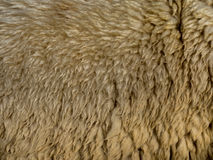 Raw sheep wool background Royalty Free Stock Image