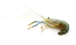 Raw shrimp. Stock Image