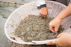 Raw shrimp. S at pond in Thailand Stock Photography