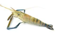 Raw shrimp. A raw shrimp on white background Stock Image