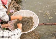 Raw shrimps Stock Photo