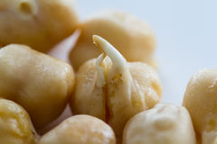 Raw sprouted chickpea Stock Images