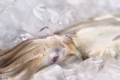 Raw Squid on Ice. Raw fresh squid on ice (Selective Focus, Focus on the top of the head where the tentacles start Royalty Free Stock Photo