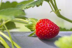 Raw strawberry Royalty Free Stock Image