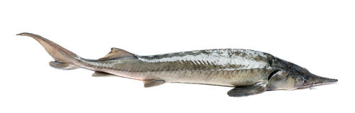 Raw sturgeon Royalty Free Stock Images