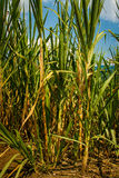 Raw sugar from juice of Sugar cane, Colombia. Raw sugar from juice of Sugar cane is the healtiest sugar of the world, Colombia royalty free stock image