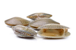 Raw Surf clam on a white background Royalty Free Stock Image