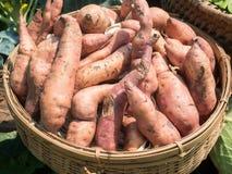 Raw sweet potatoes in organic farmer market. Organic vegetables Royalty Free Stock Photography