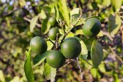 Raw tangerines Stock Photography