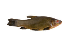 Raw tench isolated Royalty Free Stock Image