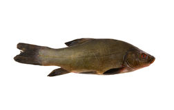 Raw tench isolated Stock Photo
