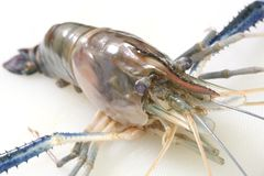 Raw Tiger Prawn Royalty Free Stock Image