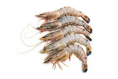 Raw tiger shrimps Stock Image
