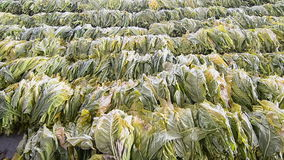 Raw Tobacco Leaf From Farm In Factory Stock Images