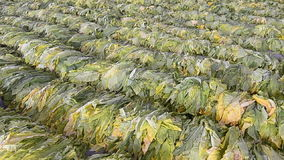 Raw Tobacco Leaf From Farm In Factory Stock Photography