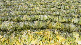 Raw Tobacco Leaf From Farm In Factory Royalty Free Stock Images