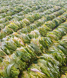 Raw Tobacco Leaf From Garden Royalty Free Stock Image