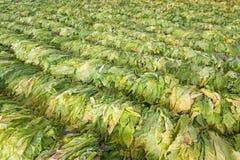 Raw Tobacco Leaf From Garden Stock Photo