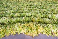 Raw Tobacco Leaf From Garden Stock Photos