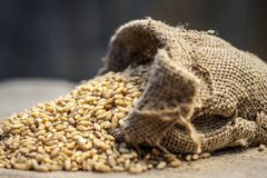Raw Triticum,Wheat grains coming out of a gunny bag. Raw Triticum ,Wheat grains coming out of a gunny bag Stock Image