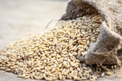 Raw Triticum,Wheat grains coming out of a gunny bag. Raw Triticum, Wheat grains coming out of a gunny bag Royalty Free Stock Photos