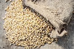 Raw Triticum,Wheat grains coming out of a gunny bag. Raw Triticum, Wheat grains coming out of a gunny bag Royalty Free Stock Photography