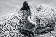 Raw Triticum,Wheat grains coming out of a gunny bag. Concept of food and taste Stock Photography