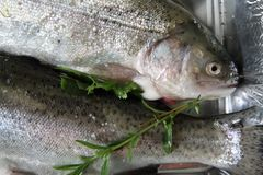 Raw trout fish Royalty Free Stock Image
