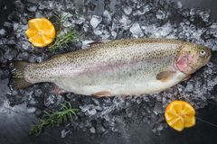 Raw trout fish. On ice with rosemary and lemon over stone dark background , top view stock photo