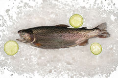 Raw trout fish in ice. Royalty Free Stock Photography