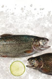 Raw trout fish in ice. Stock Photo
