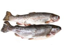 Free Raw Trout Fishes Royalty Free Stock Photos - 23881728