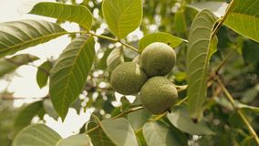 Walnut on a branch. Raw unripe walnut on a tree stock footage