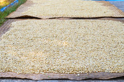 Raw, unroasted coffee beans drying in sunlight Royalty Free Stock Photography