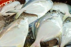Raw white Pomfret fish Royalty Free Stock Photo