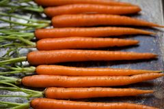 Raw Whole Baby Carrots on Metal Cookie Sheet in a row with Stems Royalty Free Stock Photos