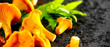 Raw wild chanterelles mushrooms on dark old rustic background. Organic Fresh chanterelle background on a table Stock Images
