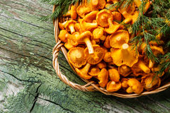 Raw wild mushrooms chanterelles in basket Stock Image
