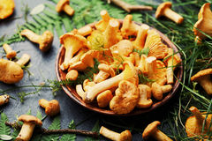 Raw yellow mushrooms chanterelle cantharellus cibarius in ceramic plate with forest plants on black kitchen table. Stock Photography