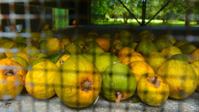 Raw Yellow Sapote Royalty Free Stock Images