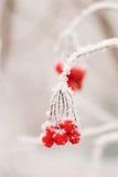 rawanberry красная зима Стоковое Изображение