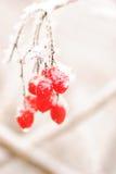 rawanberry красная зима Стоковое Фото